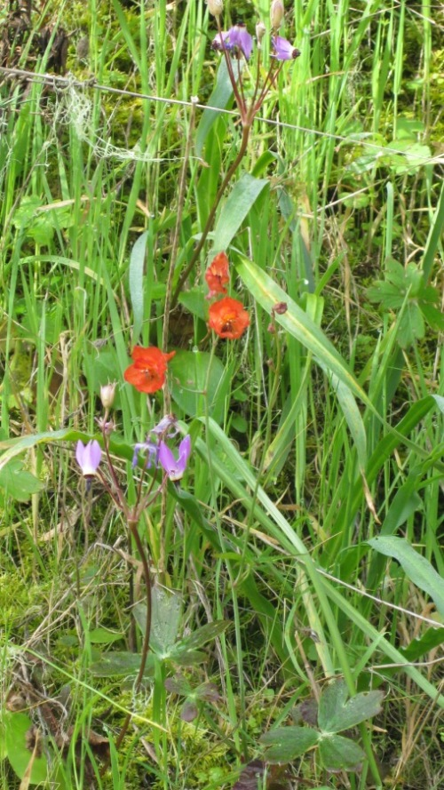 red larkspur and shooting-stars