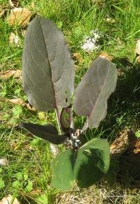 Cynoglossum grande