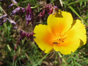 California poppy with hairy vetch and spotted cucumber beetle