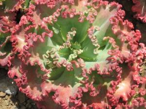 Ruth Bancroft Garden succulent