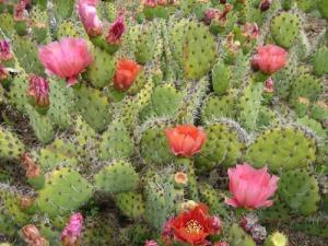 Ruth Bancroft Garden cactus