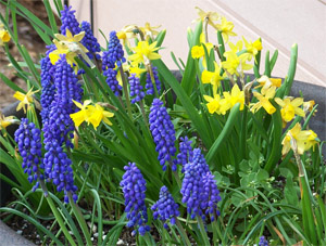 muscari and daffodils