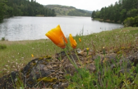California poppy at Bon Tempe