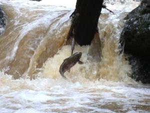 jumping coho salmon