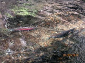 coho pair on redd