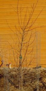 Yet-to-be-pruned peach tree