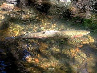 Male steelhead