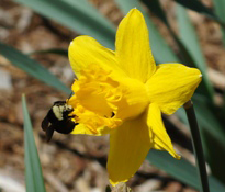 bumblebee and daffodil