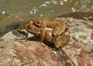 foothill yellow-legged frog mating pair