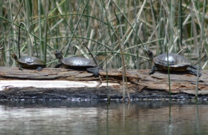 native western pond turtle flanked by two non-native red-eared sliders