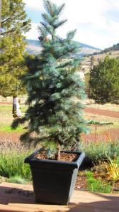 'Baby Blue Eyes' spruce