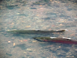 A pair of coho salmon spawn in Lagunitas Creek.