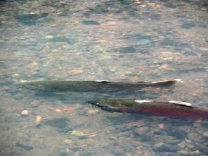 A pair of coho salmon spawn in Lagunitas Creek.