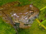 Foothill Yellow-Legged Frog at Little Carson Falls. Photo by docent Matthew Sykes.