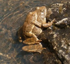 Foothill yellow-legged frogs in amplexus