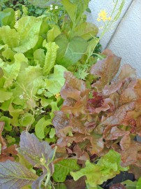 Aquaponic salad greens