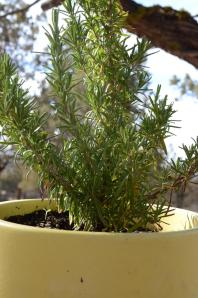 Rosemary kept by the BBQ