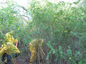 Volunteers work to remove a dense thicket of invasive broom on the Mt. Tamalpais Watershed.