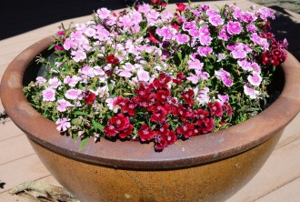 Dianthus in container