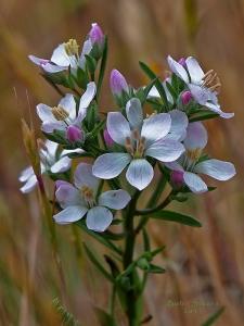 Marin dwarf flax