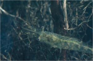 California freshwater shrimp