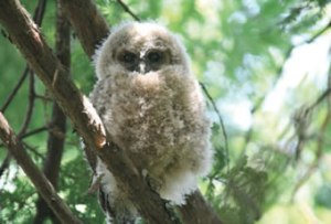 Northern spotted owl fledgling
