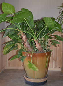 indoor/outdoor plant
