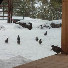 california quail in the snow