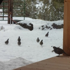 california quail in the snow