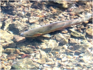 Photo of steelhead trout