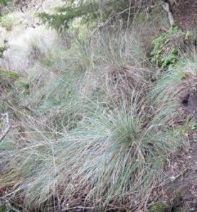 California fescue on Azalea Hill