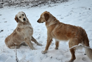 Golden retriever pups in the snow