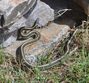 Garter snake next to pile of rocks