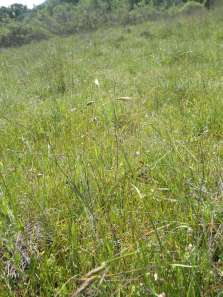 California oatgrass