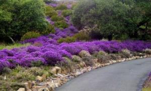 Lavender water plants along driveway