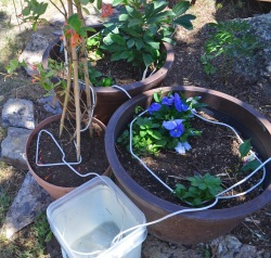 Watering container plants with rope wick