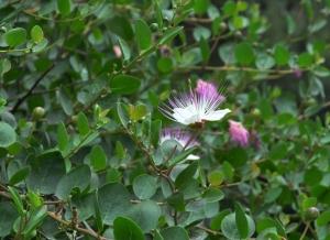 Caper (Capparis spinosa)