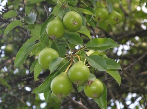 Miniature pears on tree