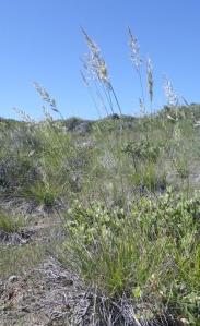 Serpentine reedgrass