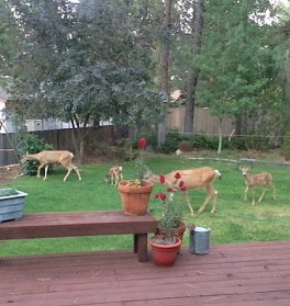 Four deer in the backyard