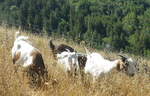 Goats on Mt. Tamalpais