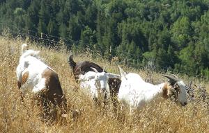 Goats on Mt. Tamalpais