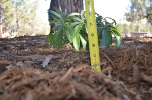 Measuring mulch depth