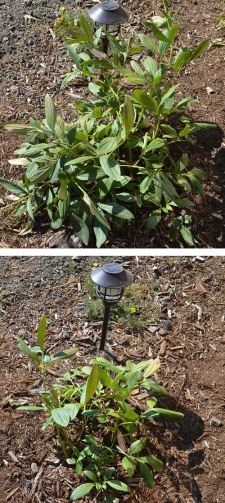 Peony before and after pruning