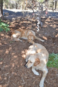 Dogs resting in garden mulch
