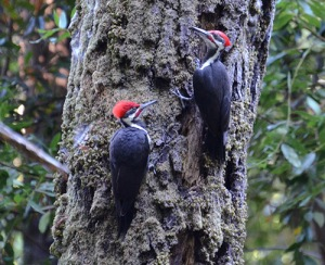 Two piliated woodpeckers on tree